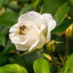 Odmiany lilii orientalnych
